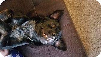 Labrador Retriever/German Shepherd Dog Mix Dog for adoption in Rancho Santa Margarita, California - Rex