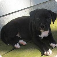 Adopt A Pet :: Dolley - Grand Rapids, MI