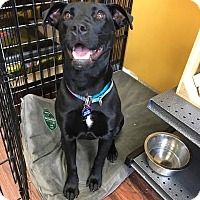 Labrador Retriever/American Pit Bull Terrier Mix Puppy for adoption in Plano, Texas - Taylor D