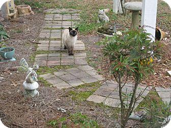 Siamese Cat for adoption in Winder, Georgia - *Marecsa3