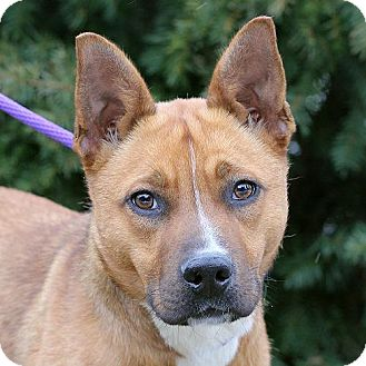 Shiba Inu Mix Dog for adoption in Springfield, Illinois - Meg
