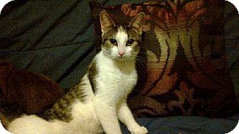 Domestic Shorthair Cat for adoption in Ottawa, Ontario - Lady Carmel