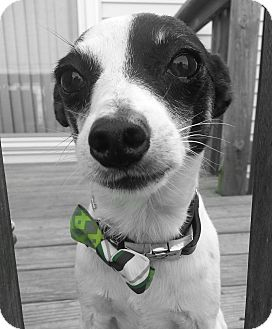 Rat Terrier/Jack Russell Terrier Mix Dog for adoption in Romeoville, Illinois - Rocco