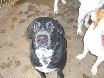 Labrador Retriever/German Shorthaired Pointer Mix Dog for adoption in Nashville, Georgia - Tootsie