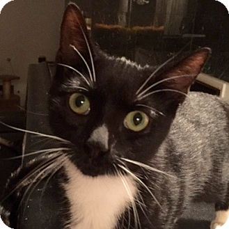 Domestic Shorthair Kitten for adoption in Long Beach, New York - Timothy
