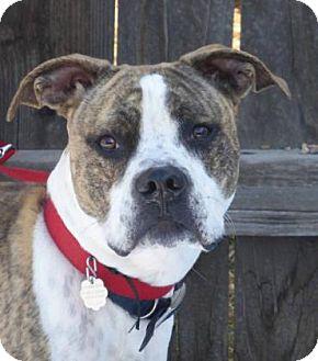 Pit Bull Terrier Mix Dog for adoption in Evans, Colorado - Dozer