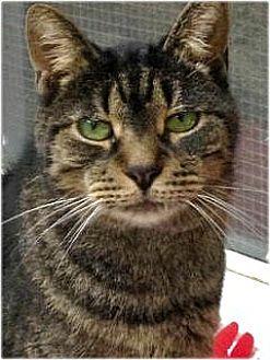 Domestic Shorthair Cat for adoption in Huntington, New York - Petunia