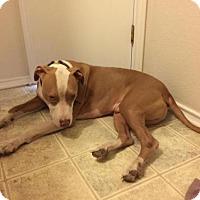 American Staffordshire Terrier Dog for adoption in Olympia, Washington - Maximilian