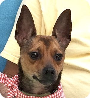 Chihuahua Mix Dog for adoption in Evansville, Indiana - Jax