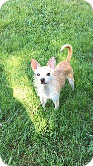 Chihuahua/Cairn Terrier Mix Dog for adoption in Va Beach, Virginia - Autumn