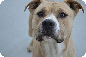 American Staffordshire Terrier/American Pit Bull Terrier Mix Dog for adoption in Prince George, Virginia - Buck