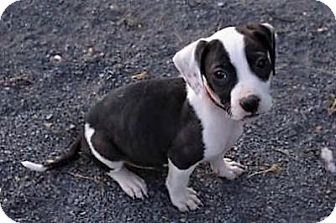 Jack Russell Terrier/American Staffordshire Terrier Mix Puppy for adoption in Fairfax, Virginia - Bitsy