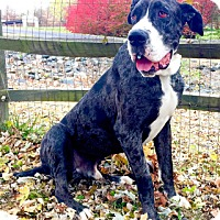 Great Dane Dog for adoption in Hanover, Maryland - Mr. Bascomb