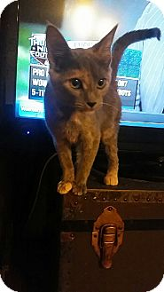 Domestic Shorthair Cat for adoption in Rockford, Illinois - Ellie