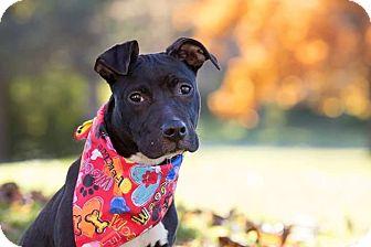 Labrador Retriever/Terrier (Unknown Type, Medium) Mix Dog for adoption in Flint, Michigan - Jordan