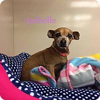 Adopt A Pet :: Anibelle - Snyder, TX