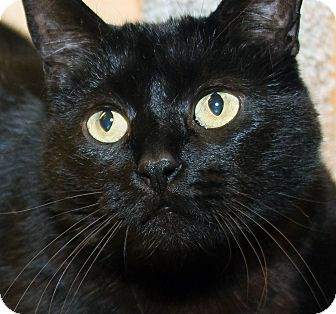 Domestic Shorthair Cat for adoption in Irvine, California - Gidget