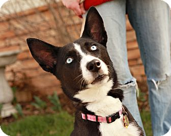Husky Mix Puppy for adoption in Lancaster, Ohio - Lacy