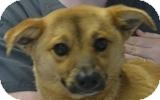German Shepherd Dog Mix Dog for adoption in Mahopac, New York - Bullet