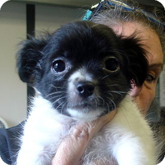 Shih Tzu Mix Puppy for adoption in Greencastle, North Carolina - Keebler