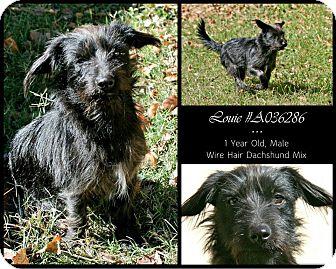 Dachshund Mix Dog for adoption in Lufkin, Texas - Louie