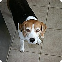 Adopt A Pet :: Tilly - Courtesy - Indianapolis, IN