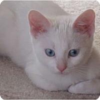 Adopt A Pet :: Snowflake - Port Republic, MD