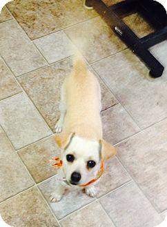 Chihuahua Mix Dog for adoption in Manassas, Virginia - Chi Chi *adoption pending*