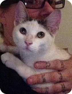 Domestic Shorthair Kitten for adoption in North Haven, Connecticut - Angel