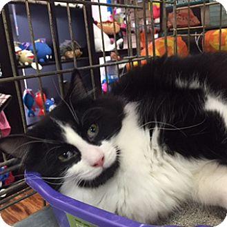 Domestic Mediumhair Cat for adoption in Toronto, Ontario - Eannie
