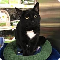 Polydactyl/Hemingway Cat for adoption in Barrington Hills, Illinois - Willow