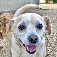 Beagle/Chihuahua Mix Dog for adoption in Lancaster, California - Archie