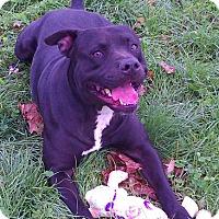 Adopt A Pet :: Simon - Metamora, IN