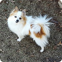 Adopt A Pet :: Ginger - Overland Park, KS