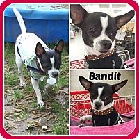 Adopt A Pet :: BANDIT - Malvern, AR