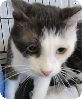 Domestic Shorthair Cat for adoption in Bunnell, Florida - Jolie