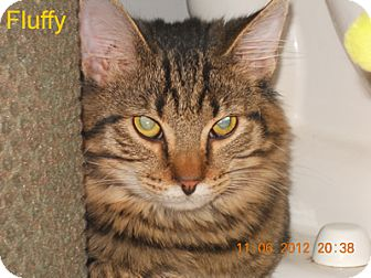 Domestic Mediumhair Kitten for adoption in Olmsted Falls, Ohio - FLUFFY
