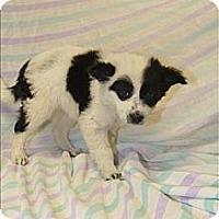 Adopt A Pet :: Juno(PENDING!) - Chicago, IL
