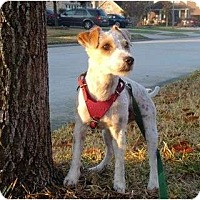 Adopt A Pet :: Gidget in Houston - Houston, TX