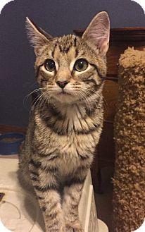 Domestic Shorthair Kitten for adoption in Overland Park, Kansas - Nell