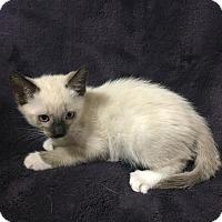 Adopt A Pet :: Cherub - Dallas, TX