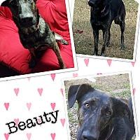 Adopt A Pet :: Beauty - ST LOUIS, MO