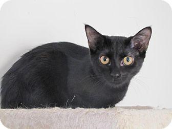 Domestic Shorthair Kitten for adoption in Burlington, North Carolina - Olive