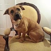Adopt A Pet :: Sheba - Gaithersburg, MD