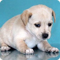 Adopt A Pet :: Olive - Waldorf, MD