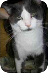 Domestic Shorthair Cat for adoption in Strathmore, Alberta - Hank
