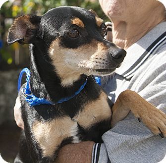 Chihuahua/Miniature Pinscher Mix Dog for adoption in hollywood, Florida - monti