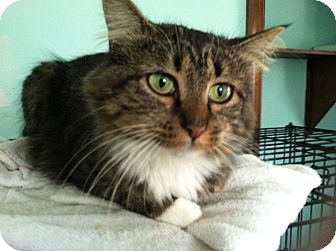 Domestic Longhair Cat for adoption in Chesterfield, Virginia - Tessa