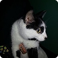 Adopt A Pet :: PATCHES - West Lafayette, IN