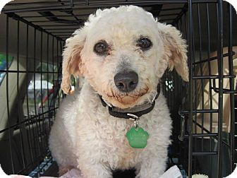 Bichon Frise Mix Dog for adoption in DAYTON, Ohio - Cyan